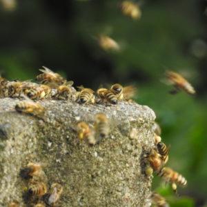 Bienen in Panik