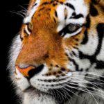 Tiger King: Nicolas Cage spielt Joe Exotic in einer neuen TV-Serie