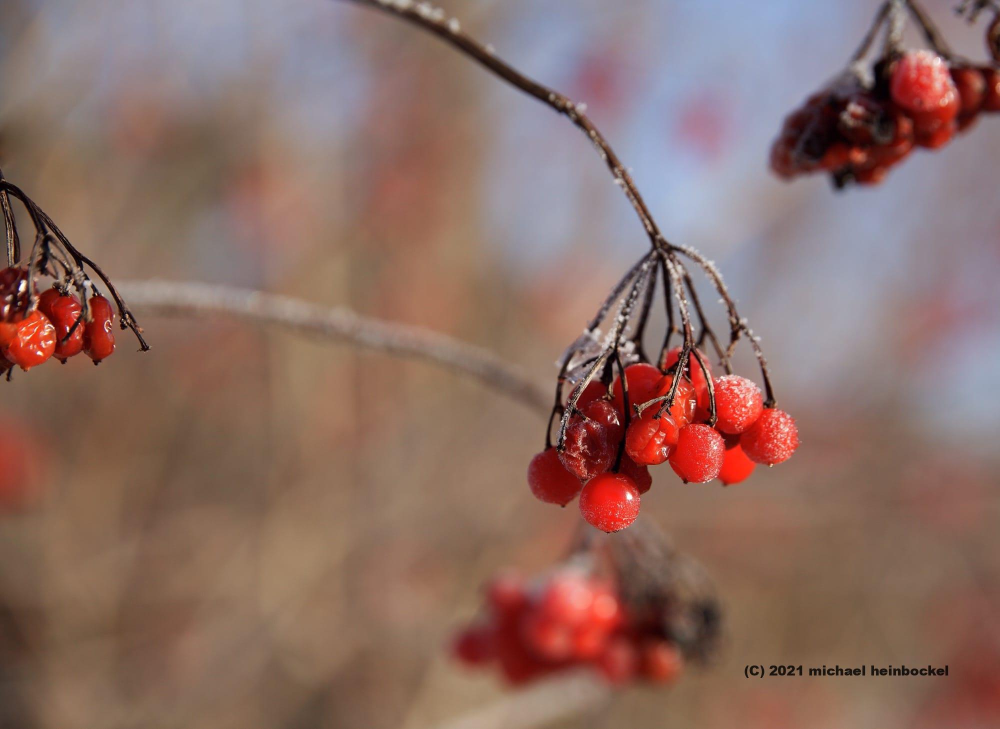 Beeren Eis Winter Fotografie